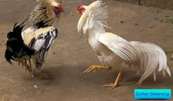 Pengenalan Provider S128 Online di Indonesia Untung Petaruh Adu Ayam